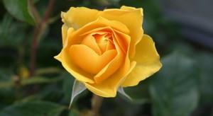 rosescale